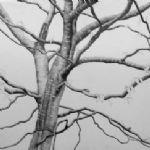 ALI MORGAN Spring - Summer - Autumn - Winter - Forty Tree Drawings Spring 09