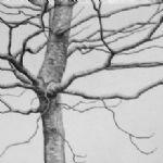 ALI MORGAN Spring - Summer - Autumn - Winter - Forty Tree Drawings Winter 06