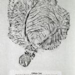 ABUNDANCE Still Lifes by SUSAN BRINKHURST and Ceramics by BILLY LLOYD Brinkhurst - Abundance v (Green Cabbage)